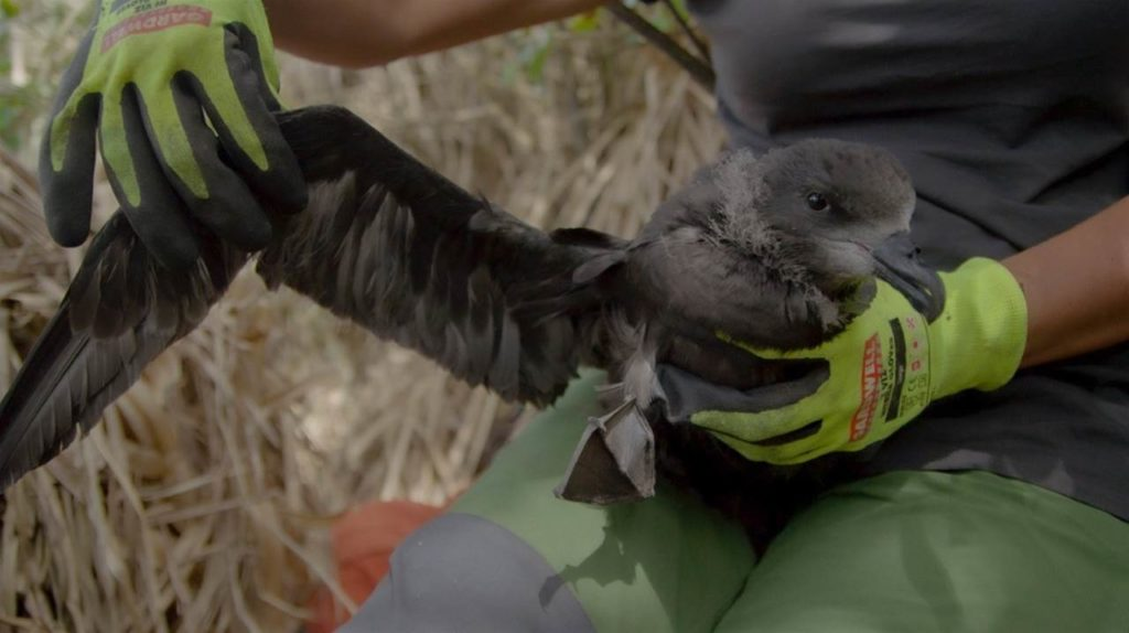 Kid-gloves treatment for an endangered seabird in the Raglan area of New Zealand.
